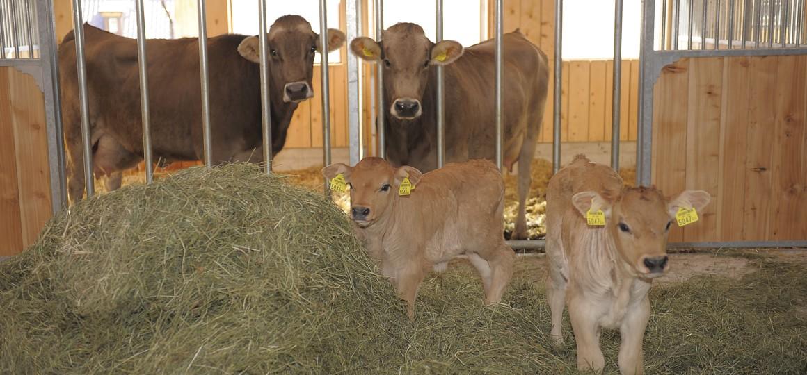 Stall mit Kühen und Kälbern